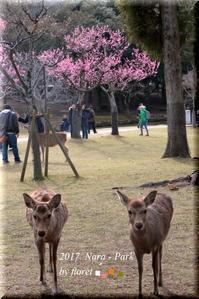 梅の香漂う奈良公園と小鹿たち - お花畑で微笑んで**