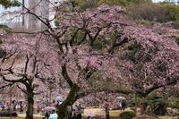 東京の枝垂れ桜は満開です。小雨降る土曜日に傘を差しながら撮ってきました(文京区、小石川後楽園) - 旅プラスの日記