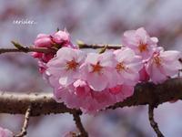 今年初めての、桜の出会い♪ - 花が教えてくれたこと