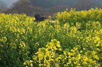 明日香村 石舞台の菜の花 - ぶらり記録(写真) 奈良・大阪・・・