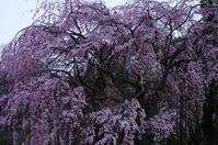 山下公園 しだれ桜 - 生きる。撮る。