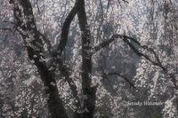 2011櫻 - お留守ワンコ