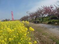 八潮花桃祭り風景と堤の花々 - 活花生活(2)