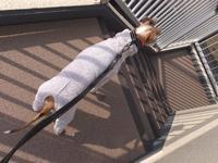 階段を降りるルビりんコレクション。 - イタグレ ルビーの日記  Ruby Tuesday