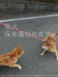 柴犬保育園!本日OPEN!! - yamatoのひとりごと
