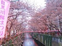 4月の始まりと 目黒川の 可憐な桜@green bean to bar chocolate。。。♡。*.゜。*・。♬♪ 十☆ - 代官山だより♪