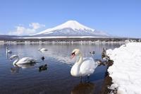 白鳥のいる山中湖 - 風とこだま