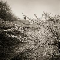 2017年4月5日 ひそやかに咲く河津桜 - Silver Oblivion