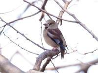 樹上のシメ - コーヒー党の野鳥と自然 パート2