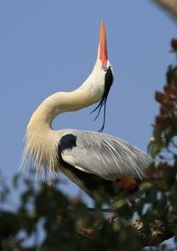 アオサギ  蒼鷺 - 気ままな鳥(撮り)日記