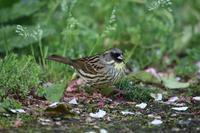 アオジ   青鵐 - 気ままな鳥(撮り)日記