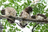 アオバズク 青葉木莬 - 気ままな鳥(撮り)日記