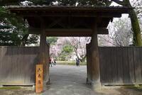 早咲きの桜とニュウナイスズメ - Buono Buono!