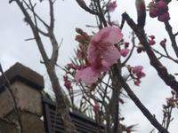 開花宣言   陽光桜 - 陶芸ブログ 限 無 窯    氷裂貫入青瓷の世界