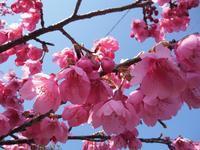 雲仙さんぽ♪ 国の重要伝統的建造物群保存地区 緋寒桜の郷まつり - うふふの時間