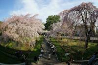東郷寺の枝垂れ桜~③終 - 柳に雪折れなし!Ⅱ