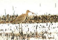ホウロクシギー2 - barbersanの野鳥観察