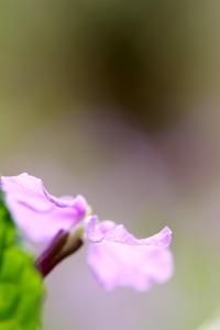 春の花 紫 - What's this?