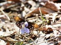 関東の春の妖精「ミヤマセセリ」と八重山諸島の中型セセリチョウ - ヒメオオの寄り道