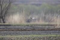 初見初撮りホウロクシギ - 『彩の国ピンボケ野鳥写真館』