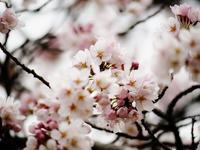 桜ショット - syuka's 駄photo base