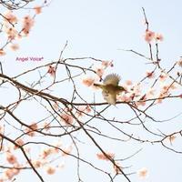 ホントダヨ - Angel Voice*