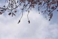 小学校の裏庭の桜  - (=^・^=)の部屋 写真館