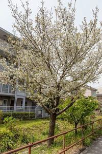 我が家のオオシマザクラは満開です - あだっちゃんの花鳥風月