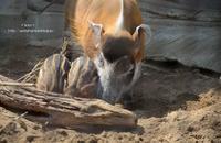アカカワイノシシの子 - 動物園でお散歩