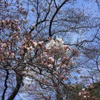 春の香り〜♪ ウドと長ネギのピクルス - Coucou a table!      クク アターブル!