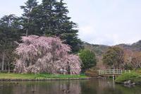 満開のしだれ桜もをかし - Change The World