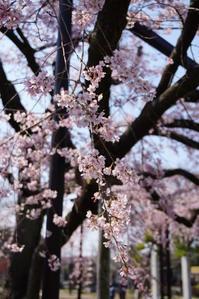 お寺さんの枝垂れ桜、満開!リベンジできました♪ 4 - Let's Enjoy Everyday!