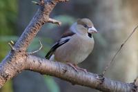 大きな川にもオオジュリン - 野鳥写真日記 自分用アーカイブズ