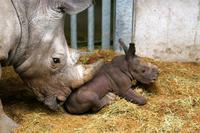動物園でのサイ密猟事件後、欧州の動物園でサイの角をカット - ごきげんよう 犀たち