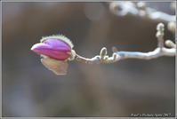 シデコブシの蕾と花 - 野鳥の素顔 <野鳥と・・・他、日々の出来事>