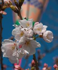 我が家に一番近い桜 開花! - まほろば 写真俳句