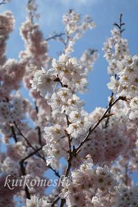 【豊田市】西山公園でお花見 - クイコ飯-2