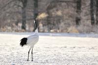 """タンチョウ(丹頂)/Red-crowned crane - 「生き物たちに乾杯」 第3巻 """"A Toast to Wildlife!"""" vol. 3"""