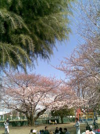 今年の桜は遅いが今週満開の予想、茂原桜祭も期待大! - RÖUTE・G DRIVE AFTER DEATH