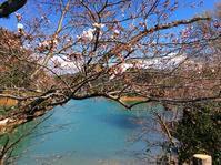 もう春ですね。桜まつりin 亀池 - 東 道のきのくに花街道