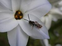 なにやらきれいなハチ - 写ればおっけー。コンデジで虫写真