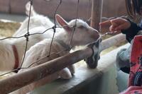 興味深々なヤギさん - ひよこのりなP