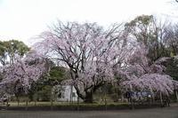 樹齢70年、東京で最も有名な枝垂れ桜が見頃を迎えました(文京区、六義園) - 旅プラスの日記