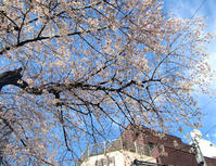 街の桜 - のんびり街さんぽ