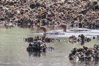 海辺にて2 - TACOSの野鳥日記