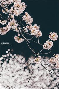 神田川の桜 - すずちゃんのカメラ!かめら!camera!