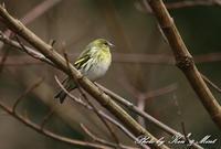 林道で会えた「マヒワ」さん~ Σ^)  by ken ken - ケンケン&ミントの鳥撮りLifeⅡ
