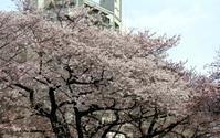 2017、櫻、咲く。-壱 - デハ712のデジカメ日記2017