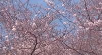 2017、櫻、咲く。-弐:満開まであと少し - デハ712のデジカメ日記2017