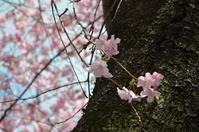 河津の桜② - at-blog*